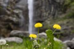 Pissenlis devant une chute d'eau au Tessin